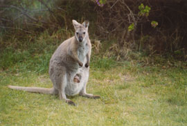 Wallaby and Joey